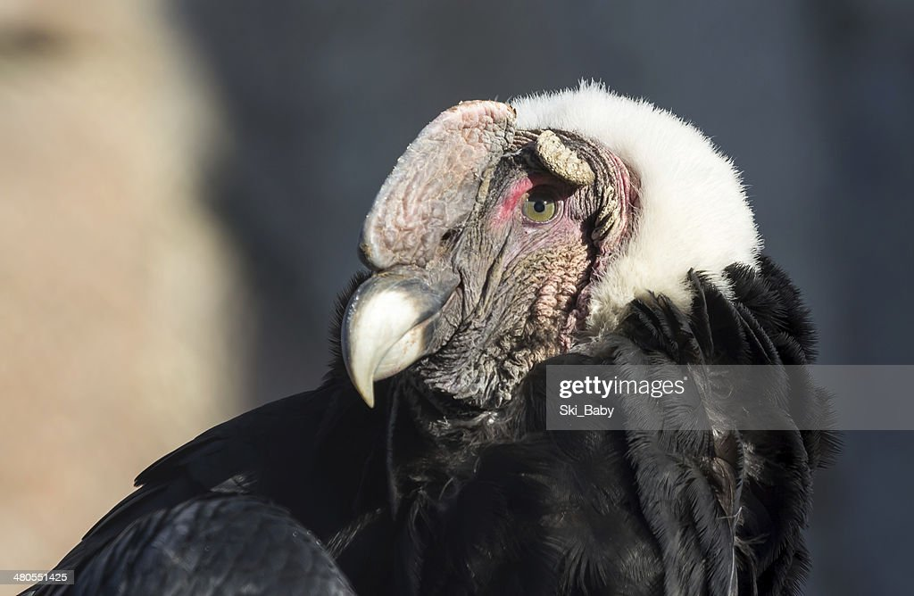 Condor-andino close up Retrato : Foto de stock