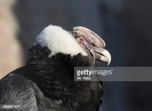 Andean Condor close up portrait : Stock Photo