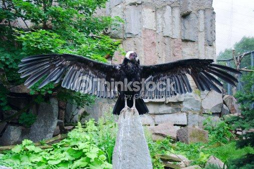 Andean condor : Stock Photo