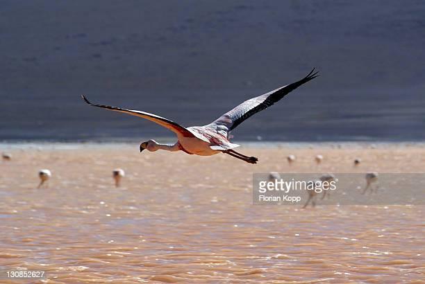 Andean Flamingo (Phoenicopterus andinus) flying, Laguna Colorada, Uyuni Highlands, Bolivia