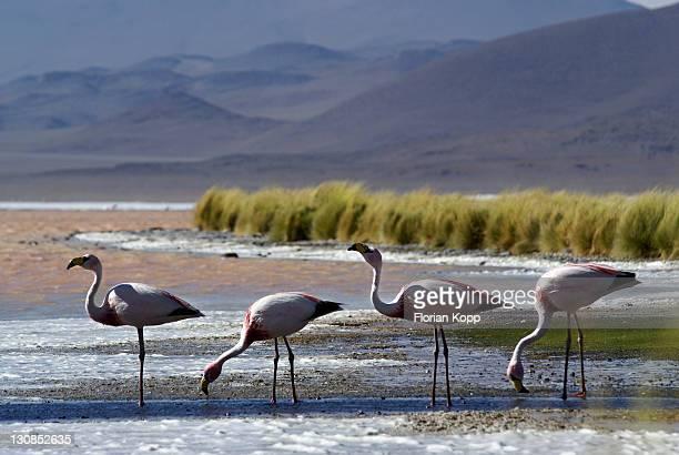 Andean Flamingos (Phoenicopterus andinus), Laguna Colorada, Uyuni Highlands, Bolivia