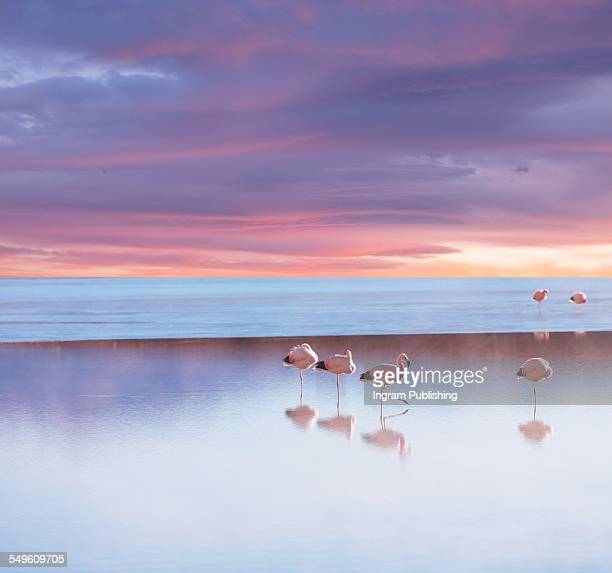 Andean Flamingos on lake