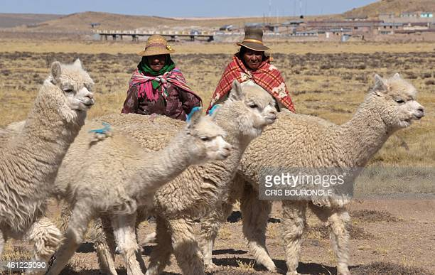 Andean women tend a herd of 200 alpacas an Andean camelid priced for its wool close to the village of Imata in Puno some 1500 km southeast of Lima on...