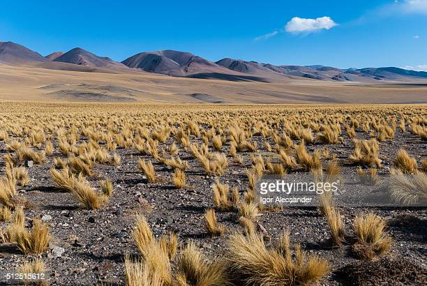 Andes feathergrass or Jarava ichu landscape in São Francisco Pass, Fiambala, Catamarca Province, Argentina