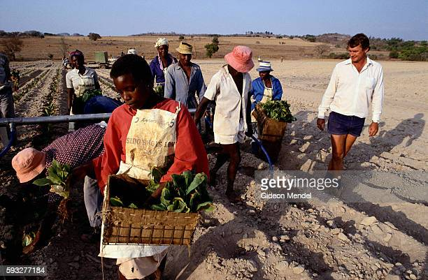 Andrew Huck a white tobacco farmer in Zimbabwe oversees planting of seedlings on his plantation in Macheke