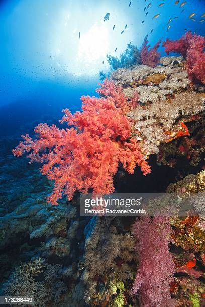 anemone and a scuba diver