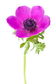 Anemone coronaria flower isolated on white background with shallow depth of field.