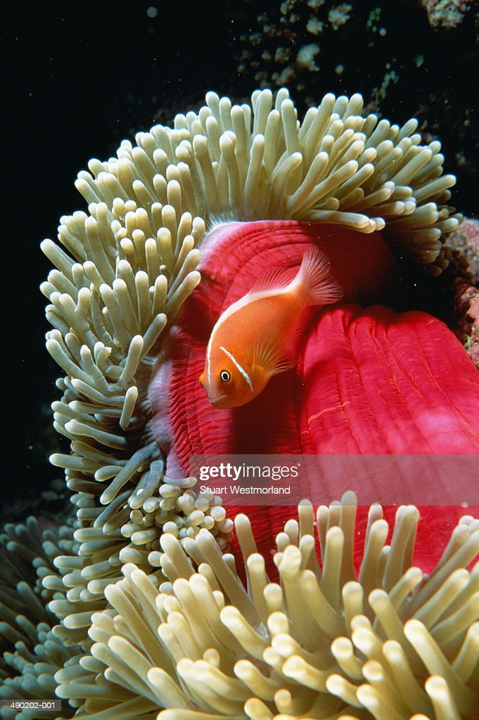 Anemone fish amongst marine vegetation, Australia : Stock Photo