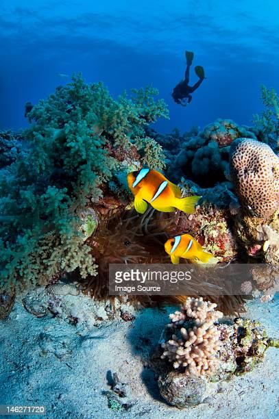 Anemone fish and diver in the Red Sea, Egypt