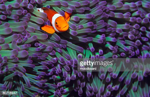 Anemone Fish : Stock Photo