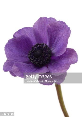 Anemone flower, close-up