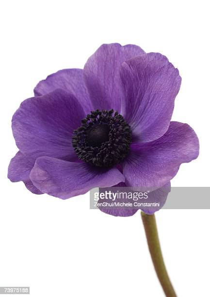 Anemone flower, close-up