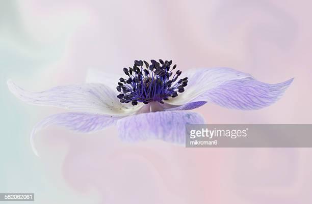 Anemone flower.