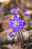 Anemone hepatica or common hepatica liverwort in a swedish forest. The background is brown dry oak leaves.