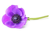 Anemone isolated on white background with clipping path without shade