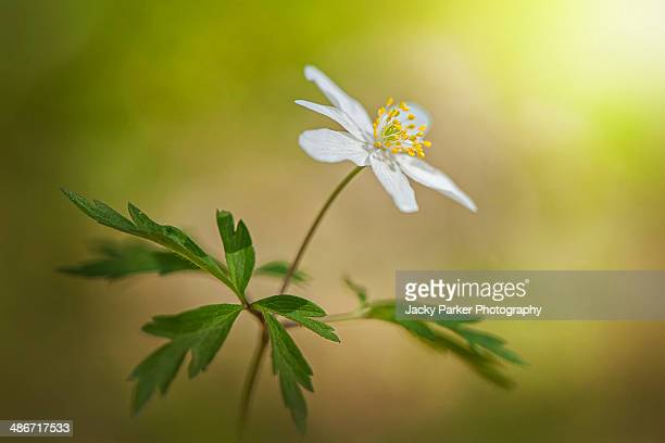 Anemone nemorosa white flower