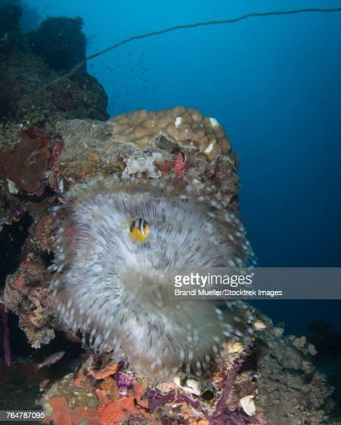 Anemone on the Kiyosumi Maru shipwreck, Truk Lagoon, Micronesia.