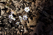 This image shows a close up view of a white anemone wildflower blooming in its natural forest ravine setting.