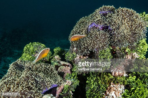 Anemonefish (Amphiprion ocellaris) and sea anemone