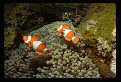 Anemonefish over Bulb-tipped Anemone