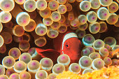 Anemonefish swimming in sea anemone