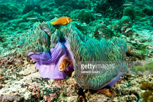 Anemonefishes in their anemone : Stock Photo