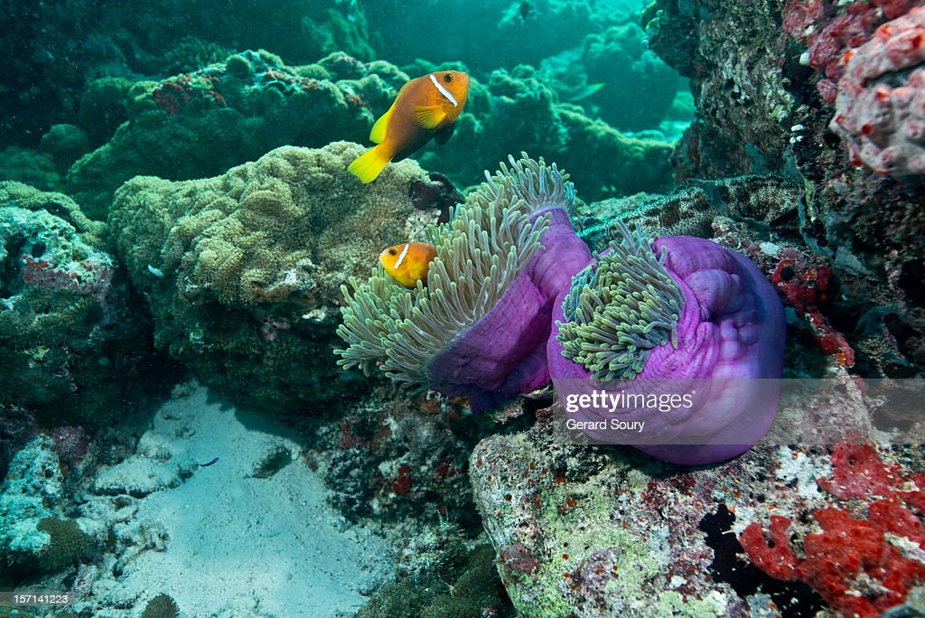 Anemonefishes on their anemone : Stock Photo