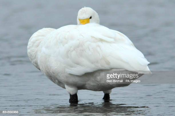 Anga a Bewick's swan at the Slimbridge Wildfowl centre in Gloucestershire after a long flight from arctic Russia