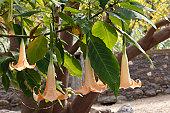 Angel Trumpet (Brugmansia versicolor syn. Datura versicolor), La Gomera, Canary Islands, Spain, Europe