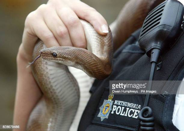 PC Angela Hartas holds a 5ft Columbian rainbow boa constrictor she found in a car park in Fatfield Washington Tyne and Wear after a member of the...