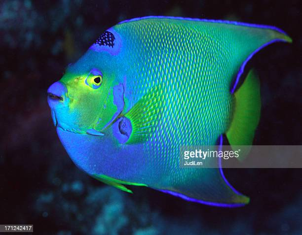 SI Angelfish Adult - blue