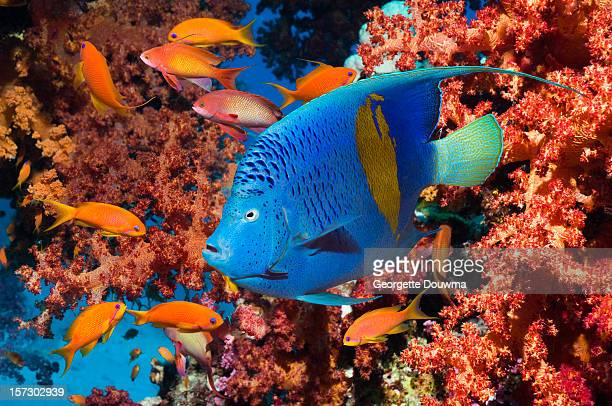Angelfish and Lyretail anthias
