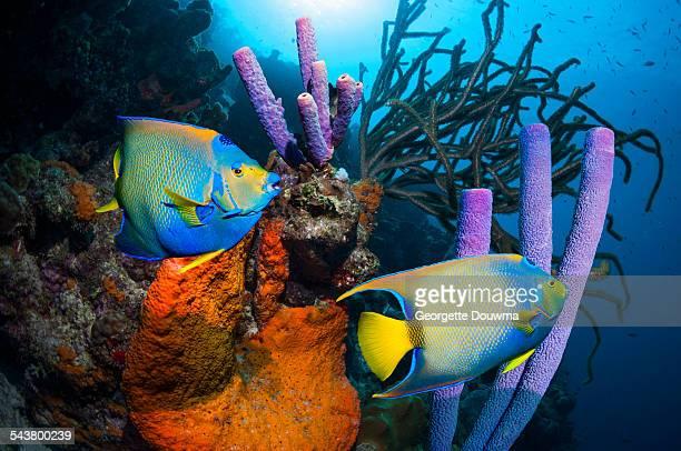 Angelfish over tropical reef