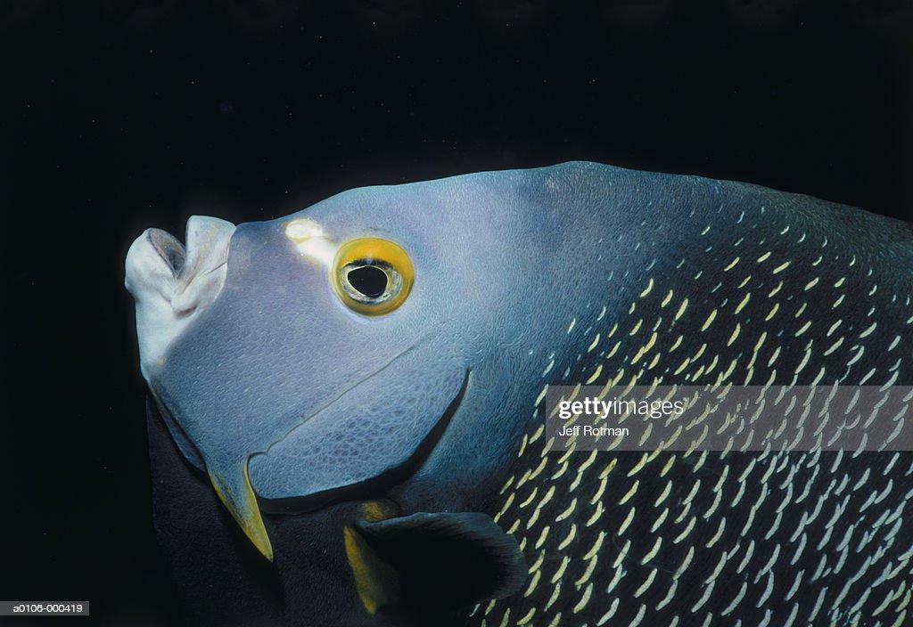 Angelfish : Stock Photo