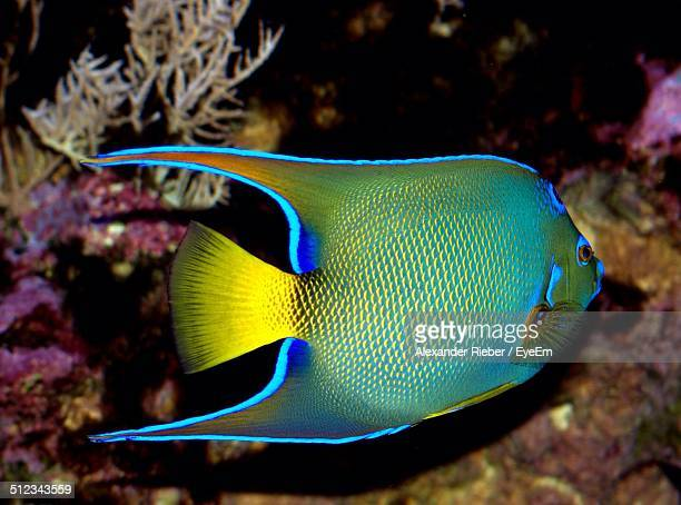 Angelfish swimming in sea