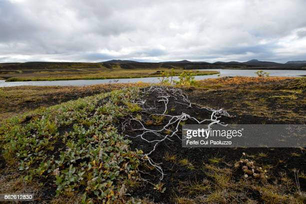 Angelica plant and dried root at Veidivötn, Highlands, Icealnd