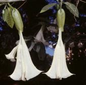 Angel's tears Solanaceae