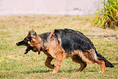 Anger Aggressive Long-Haired Purebred German Shepherd Adult Dog Or Alsatian Wolf Dog On Lead Going To Attack With Widely Opened Mouth Jaws.
