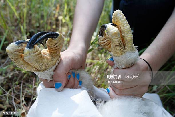 Angiline DiDonato grasps the legs of a Golden eagle chick with icepick talons while field biologists record the bird's vital statistics PHOTOGRAPHED...