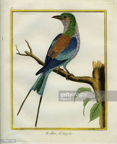 Angolan Roller Coracias angolensisAngolan RollerGeorgesLouis Leclerc Comte of Buffon 'Natural History of birds fish insects and reptiles' coloured...