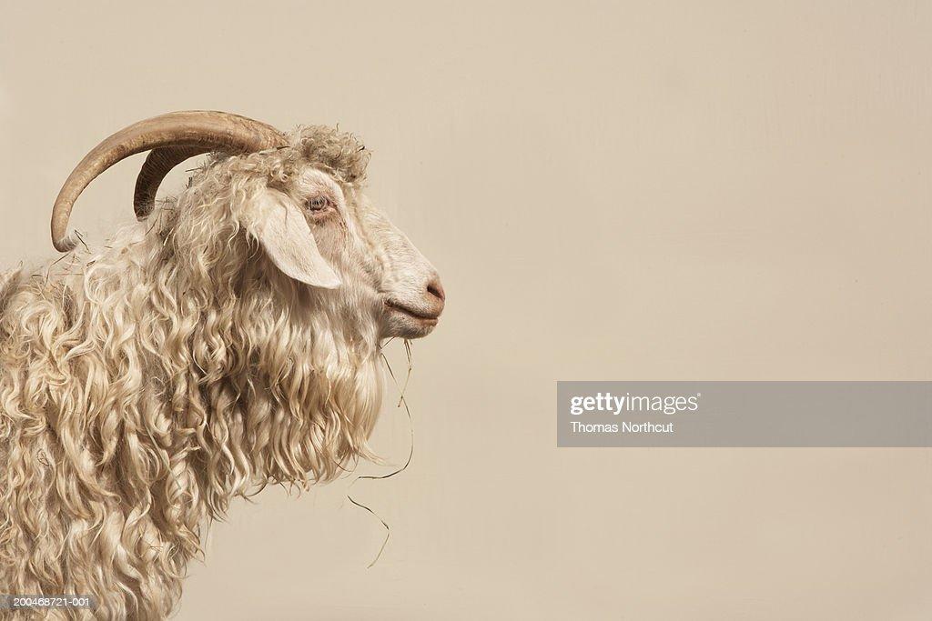 Angora goat, side view