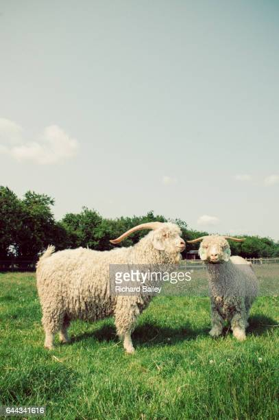 Angora Goats in a field in Suffolk, United Kingdom.
