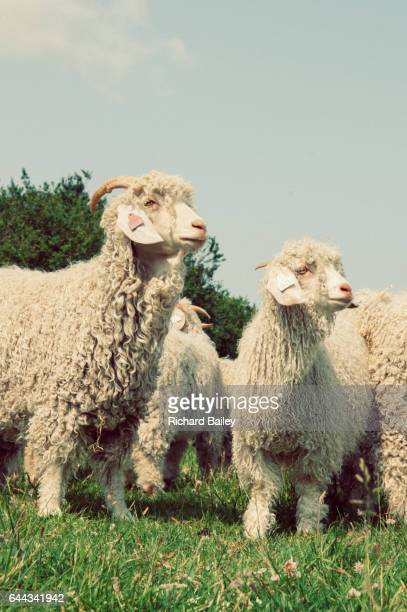 Angora Goats in a field.