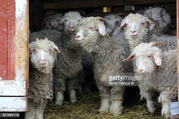Angora goats in a local farm