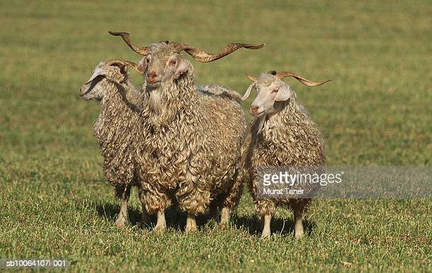 Angora goats standing on grass, close-up