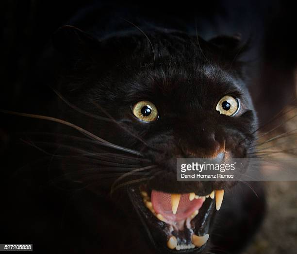 Angry black leopard
