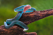 angry blue viper snake trimeresurus insularis on a tree