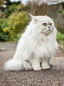 Close up of a British longhair cat