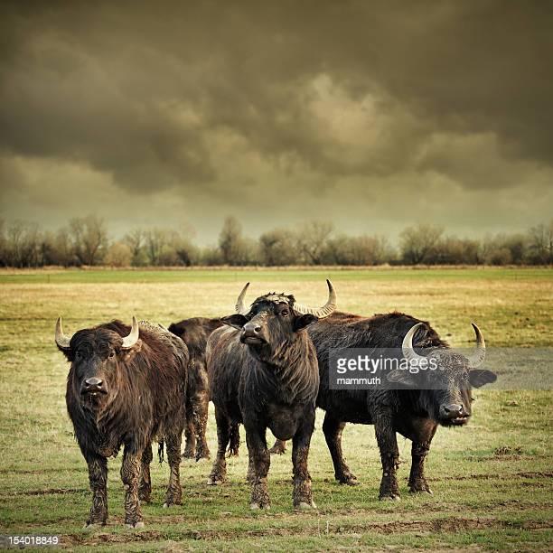 angry buffalos