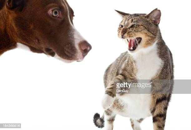 Angry Cat Growls at Frightened Lab Puppy